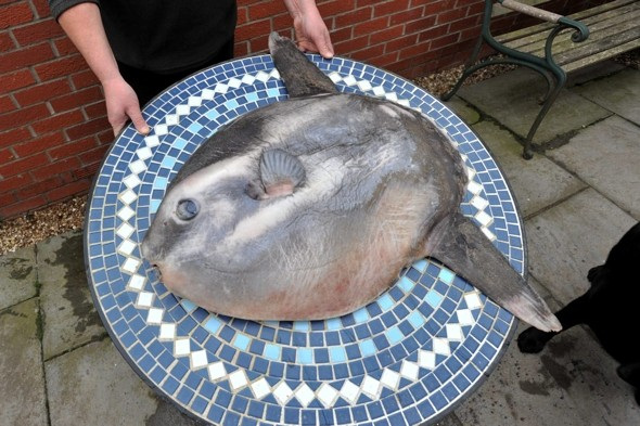 Can you tell what is yet? Six stone exotic fish washes up on beach in Lincolnshire