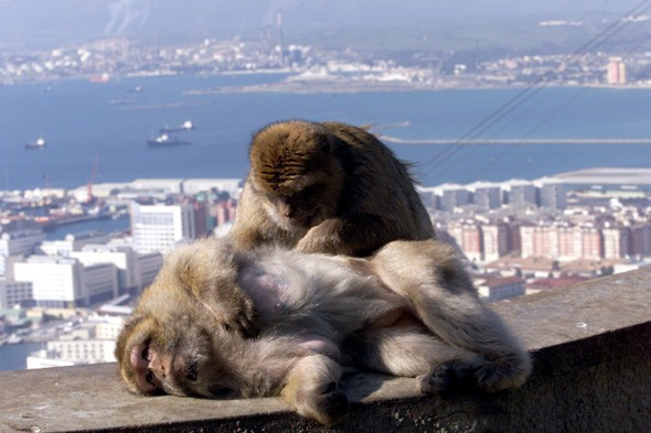 Gibraltar to get rid of half its monkey colony as they 'lose fear of humans'