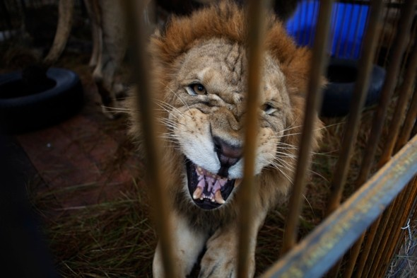 Terror in crowd as lion escapes during circus performance