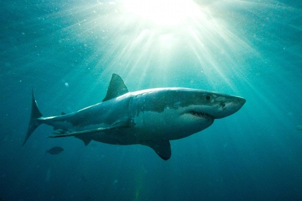 Are Great White sharks reaching British shores?