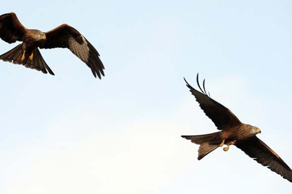 4. The M40 approaching Oxford: Red kites