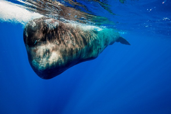 Sperm whale