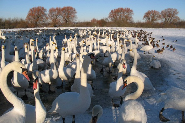 Watch wild swan feeds at WWT Caerlaverock Wetland Centre