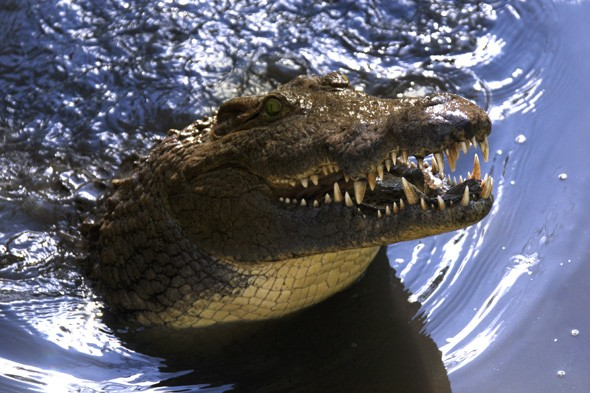 15,000 crocodiles escape from farm