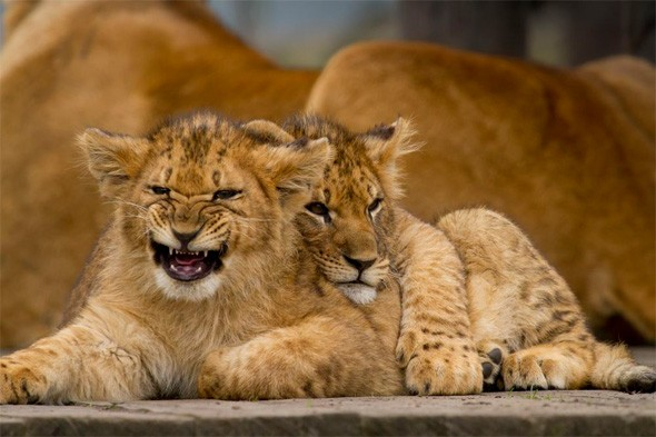 Go wild at Knowsley Safari Park