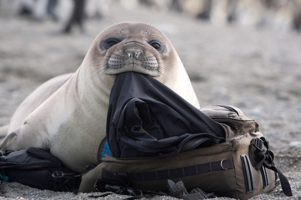 Cheeky seal rifles through tourist's bag on beach