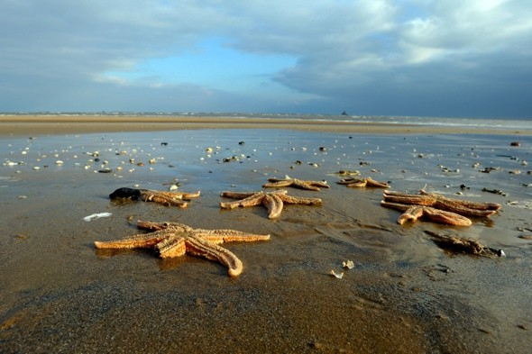 Why have thousands of dead starfish washed up on a Lincolnshire beach?