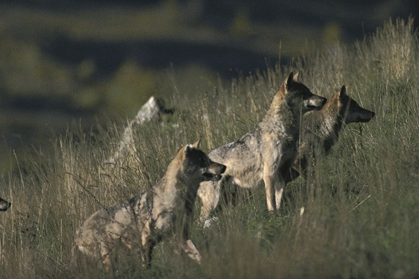 Wolf attacks on the rise in tourist spots of Tuscany