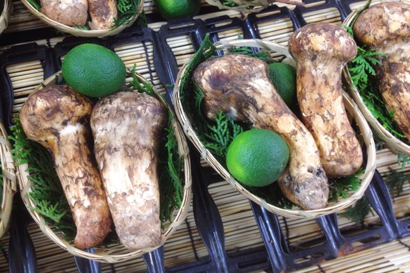 Armillaria Matsutake mushroom - $1000 to $2000 per pound