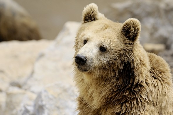 Switzerland's only wild bear shot after 'posing threat to humans'