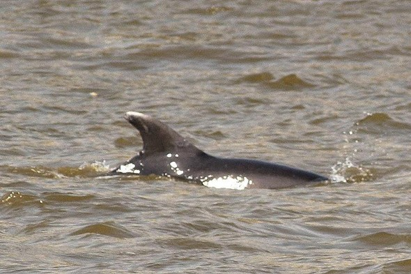 Tourists' surprise as three dolphins swim up the Thames