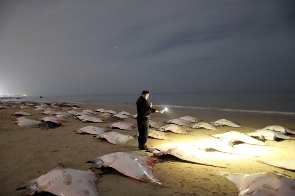 Why did 220 manta rays wash up dead on a beach in Gaza?