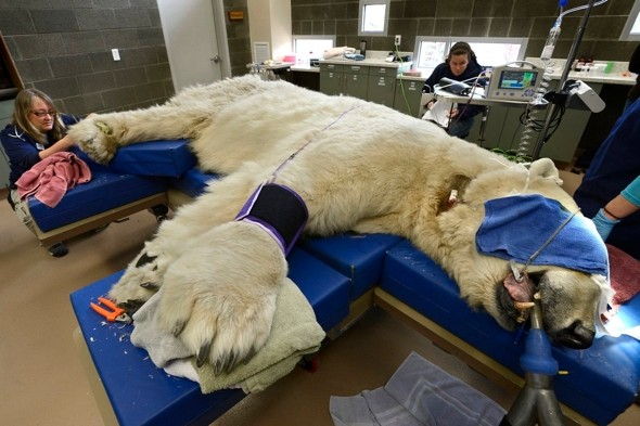 Bear with a sore head: 66-stone polar bear gets annual check-up