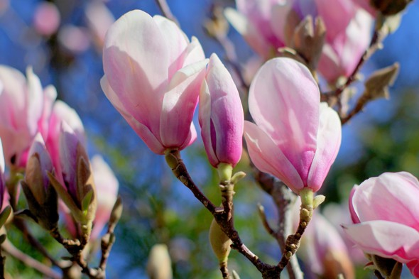 Magnificent magnolia