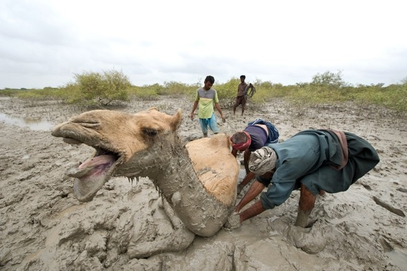 Dramatic rescue of camel stuck in mud among mangroves in India