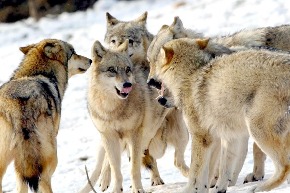 Schoolboy killed by 'pack of wolves' in Siberi