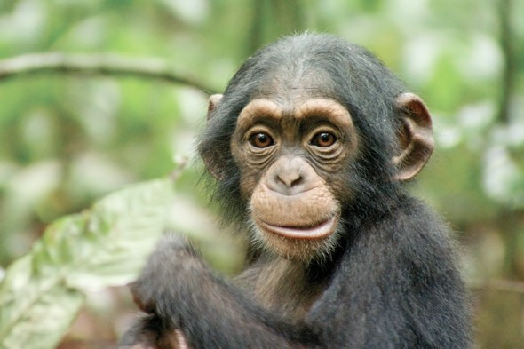 Disneynatures Chimpanzee Downloadable Activity Sheets further Les Bebes Rongeurs A108428762 additionally Mohamed Ibrahim Egypt n 1260445 additionally Jimena vazquez besides Dawn of the pla  of the apes koba Wallpapers. on oscar chimpanzee found