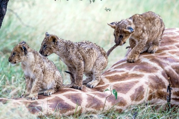 Pride of lions attack and kill adult giraffe