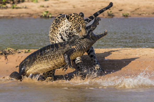 Pictures: Jaguar attacks caiman