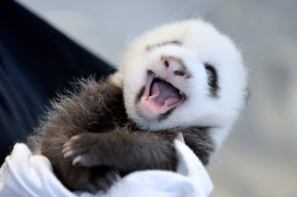 It doesn't get much cuter than this, does it? A giant panda cub ...
