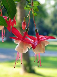 fuchsia