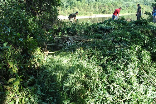 Authorities search a pot plantation