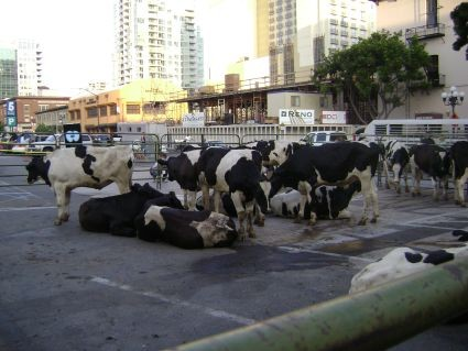 It's not your imagination. There be cows in downtown San Diego!