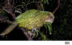 The Kakapo is an endangered parrot featured on BBC2's Last Chance to See.