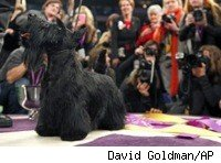 sadie_the_scottish_terrier_AP