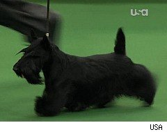 Westminster, Sadie the Scottish Terrier, Best in Show