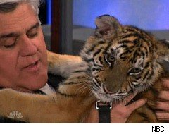 The Tonight Show, Jay Leno cuddles with a tiger