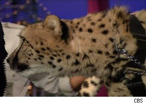 David Letterman Meets a Cheetah - and Learns What Cheetahs Are Scared of
