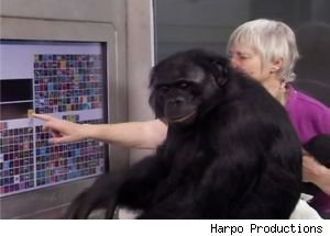 On 'Oprah,' an Interview With an Ape Who Can 'Talk' to Humans