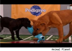 Touchdown on 'Puppy Bowl VII'