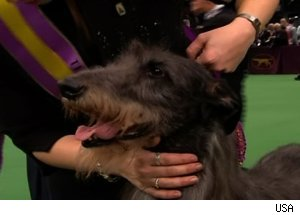 Scottish Deerhound Hickory, 'The 135th Westminster Kennel Club Dog Show'