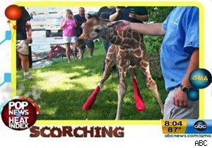 A baby giraffe on 'Good Morning America'