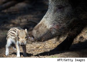 Wild Boars