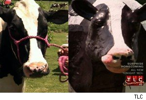 Eden the cow and Eden the cow cake on 'Cake Boss'