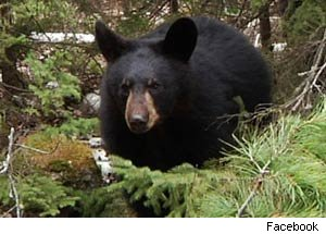Hope, Famous TV Bear, Killed by Hunter in Minnesota