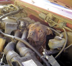 Pit Bull in engine