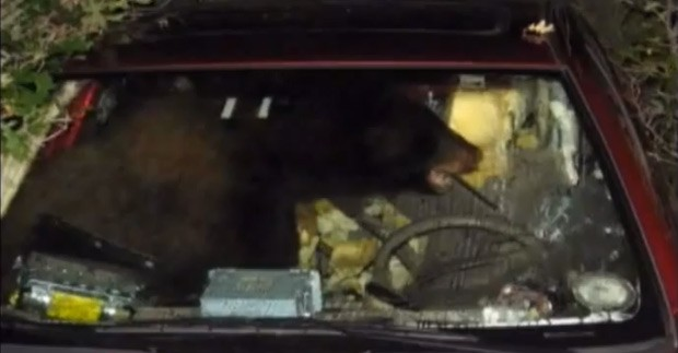 Bear steals car