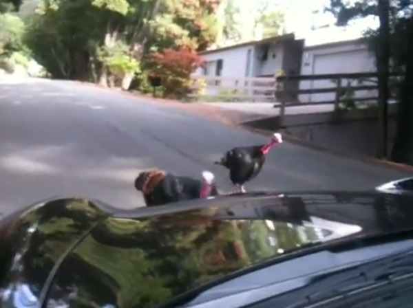 Porsche 911 attacked by wild turkeys