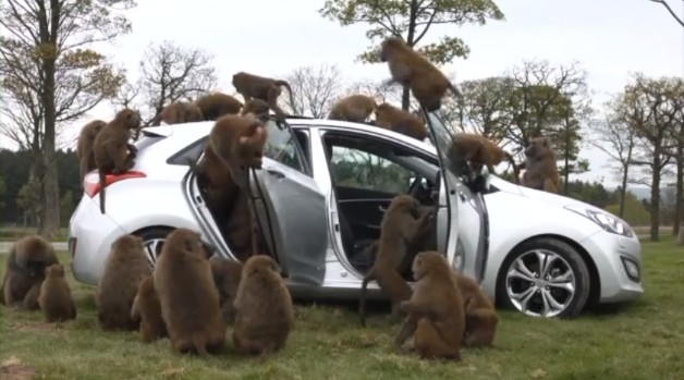 Hyundai i30 covered in baboons