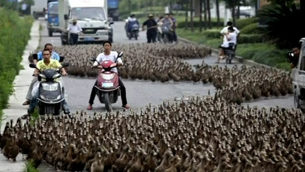 Ducks cross the road in China