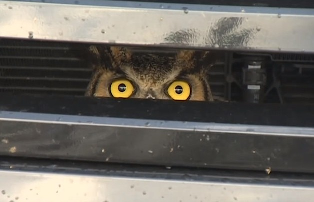 Great Horned Owl stuck inside vehicle grille - video screencap