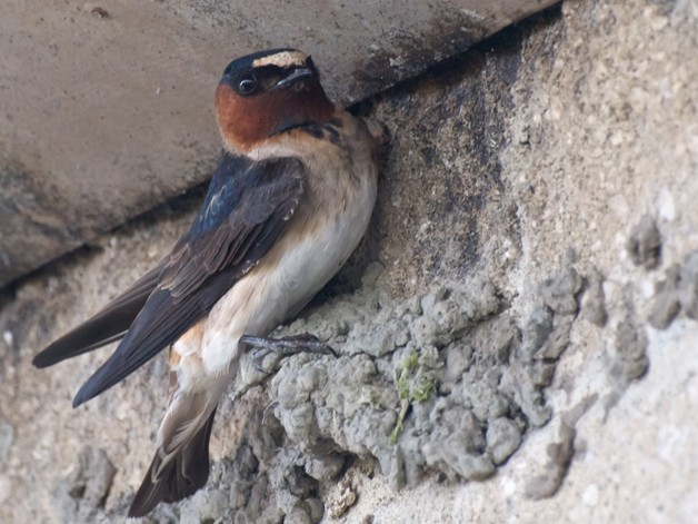 Cliff swallow bird