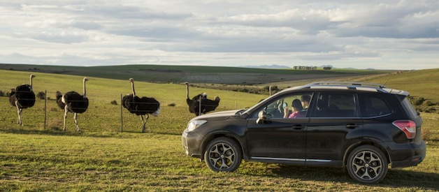2014 Subaru Forester XT in South Africa with ostriches