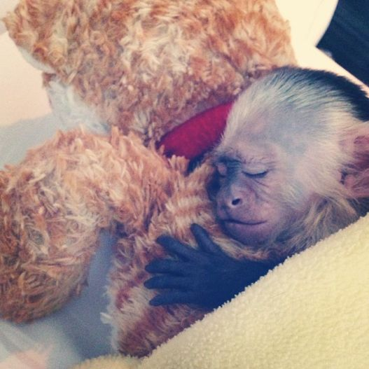 Justin Bieber pet monkey Mally animal cruelty