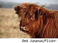 long-haired cattle