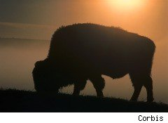 an American buffalo, bison, grazing